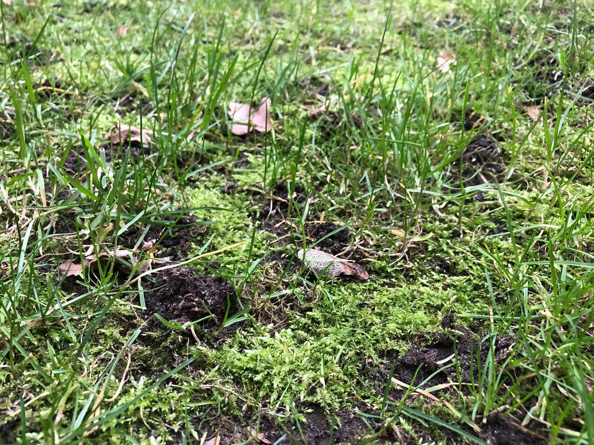 Moos im Rasen entfernen