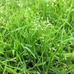Unser Rasen blüht - Ist es das einjährige Rispengras Poa Anna