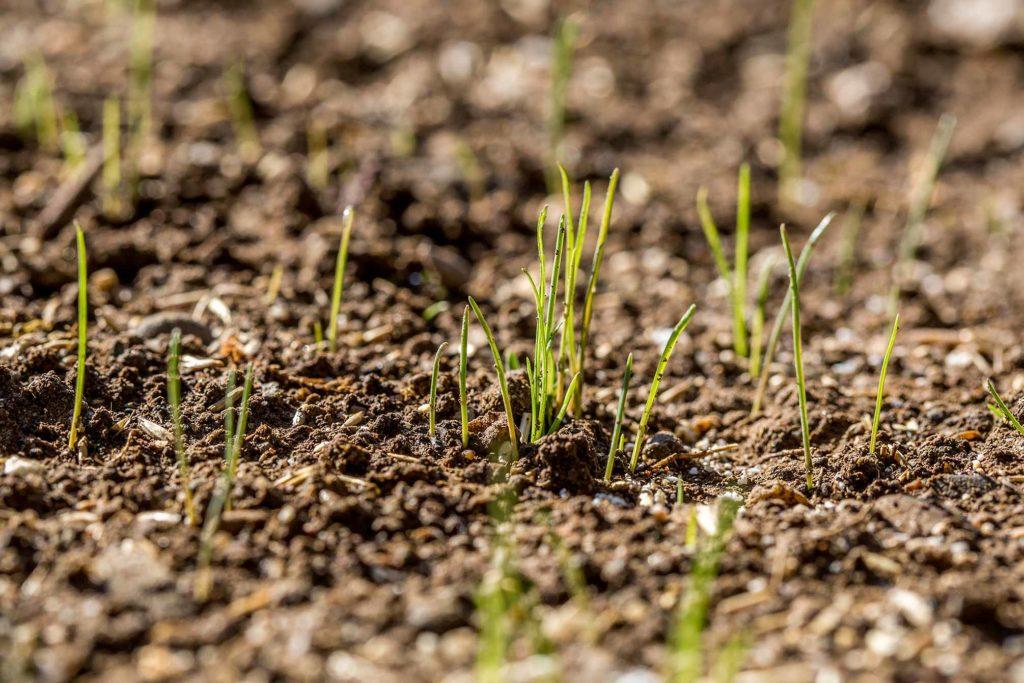 Rasen Keimzeit