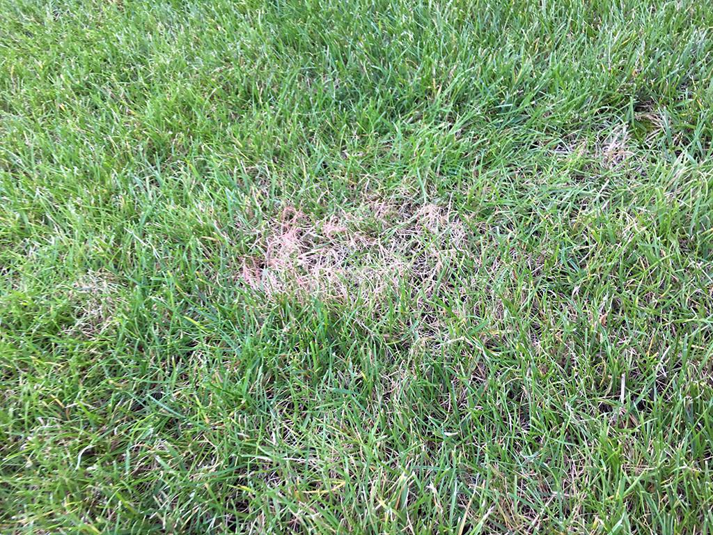 Wie Sie Rotspitzigkeit im Rasen bekämpfen können