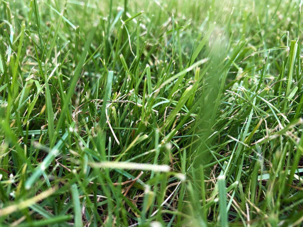 Saftiges Grün durch Kalium-Rasendünger
