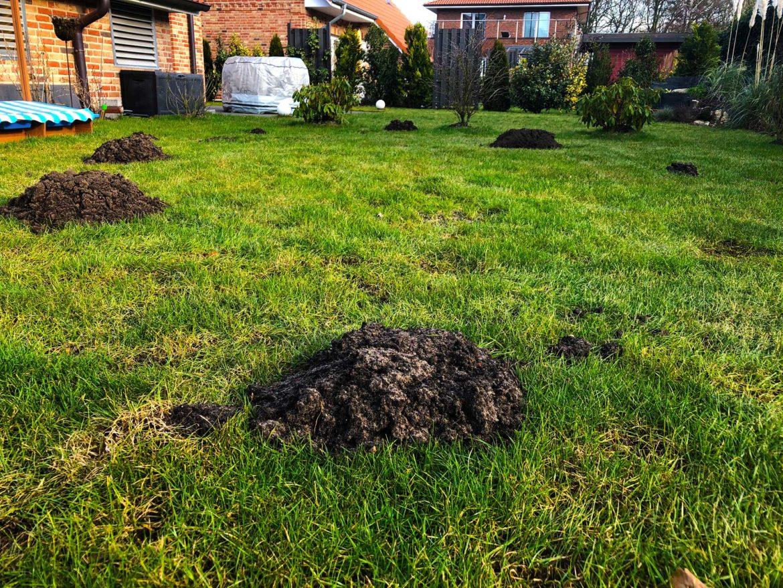 Top Maulwurfshügel SOS - Wie Sie Ihren Rasen erfolgreich renovieren @AH_37